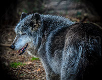 Speedwell Wolves at the Wolf Sanctuary of PA.
