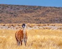 Argentina, Guanacos & Llamas