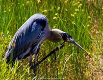 Scratching Great Blue Heron