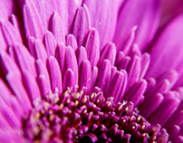 Gerberas Macro Photography