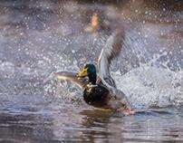 December Ducks