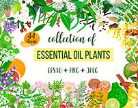 Essential oil plants