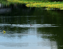 Grebe and spring water