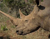 African Rhino- Color
