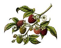 Berry fruit vintage illustration