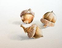 Study of acorns