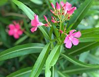 Nerium oleander(kaner).