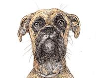 Boxer Dog Drawing