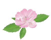Wild Rose Illustration