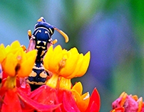 Black & Yellow Wasp