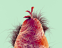 Hairy fruits