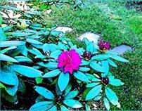 Rhododenrons