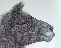 Llama Pencil Illustration