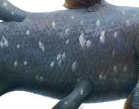 Latimeria, Coelacanth