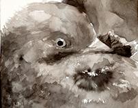 50 Series (pigeons)