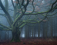 Forest of the giant beech trees II