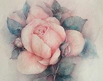 Чайная роза... Акварель