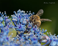 BEE AND HYDRANGEA