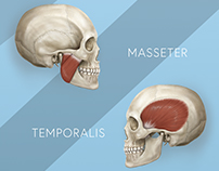 Medical Illustration The Functional Anatomy of the TMJ