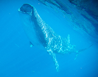 Swimming with Whale Sharks in Isla Mujeres