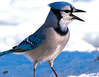 My Feisty Bluejay