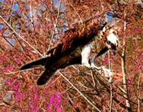 Osprey Pink Series