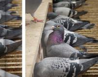 Homing Pigeon Book