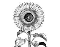 Sunflower botanical illustration vintage style