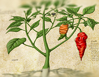 Chilli Illustration - Bhut Jolokia