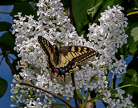White lilac (with a visitor)...