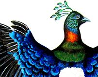Himalayan Monal Pheasant
