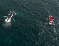 Humpback whales in Bahia Solano 2016 | DJI Phantom 4