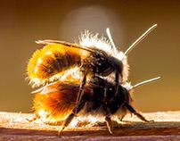 bumblebees...