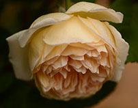 A Few More Roses