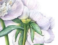Watercolor peony. Botanical illustration.