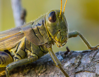 Grasshopper - Photography