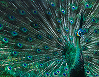 Peacock - Animal Photography