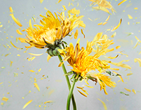 Exploding Dandelions for Simon & Schuster