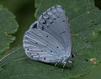 le farfalle della Val Masino (II)