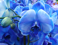 Beautiful Blue Orchid