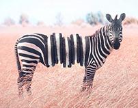 Photo Manipulation Zebra