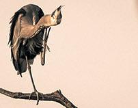Herons, Mystic Birds