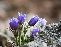 Cluster of Pasque Flowers