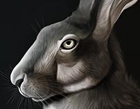 European Hare - (scientific) illustration study