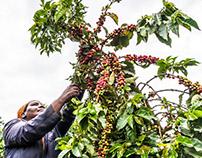 Coffee harvesting, Karatina (Kenya)