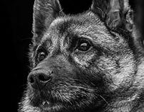 Norwegian Grey Elkhound
