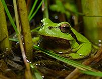 Amphibien der Nordschweiz