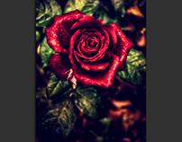 Rosa mojada