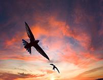Ares Hovhannesyan - Apus Birds in Armenia