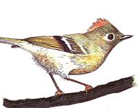 Birds, Traditional Media